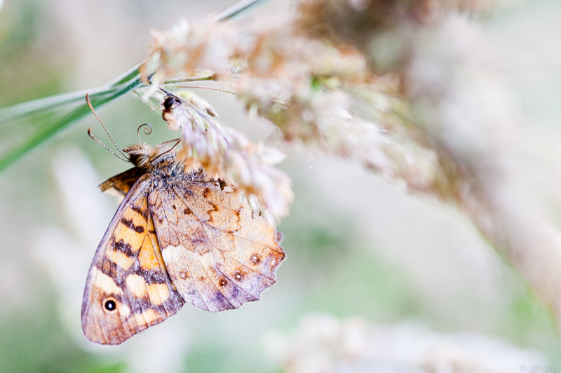 Landes, papallona