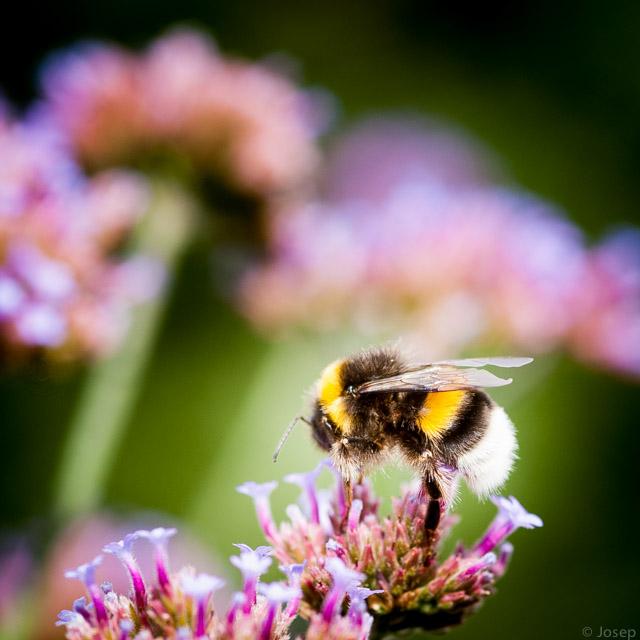 L'abella