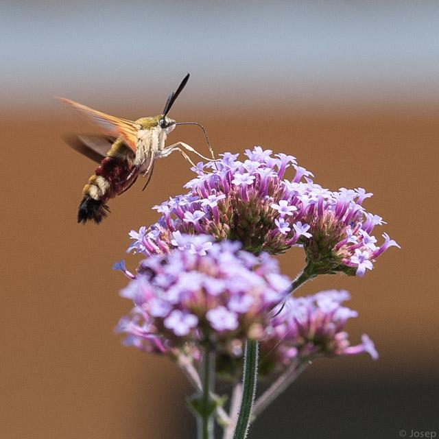 Papallona esfinge colibri