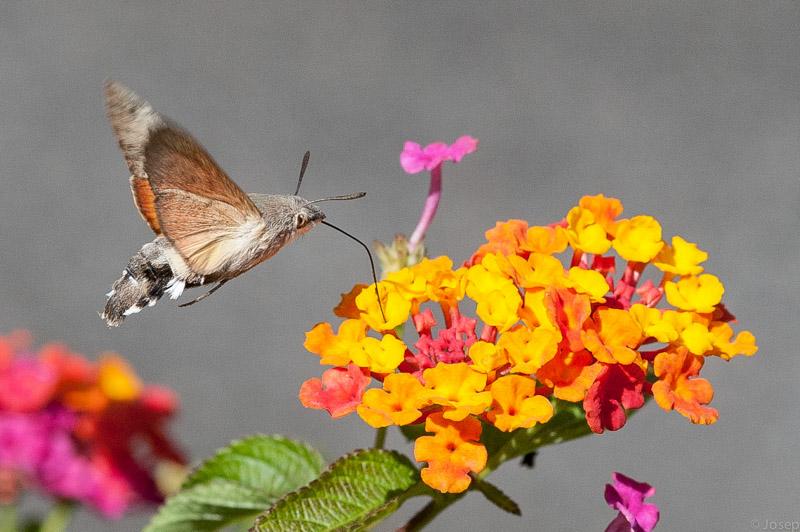 Papallona colibrí fent feina...