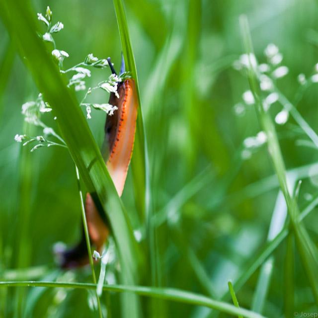 Petit llimac entre les herbes